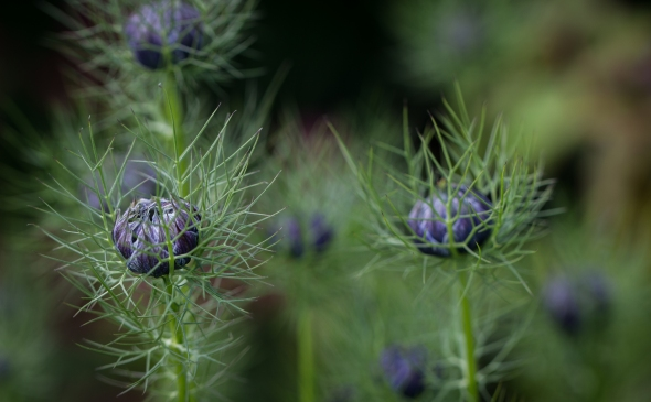 Nigella, flower buds, photograph by Hiromu Otsuka, Winterbourne House and Garden, Digging for Dirt